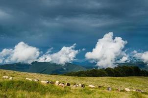 pastagem de ovelhas nas montanhas dos Cárpatos