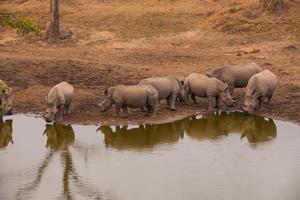 encontro de rinoceronte foto