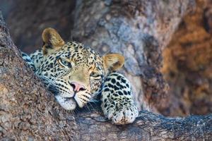 leopardo relaxado foto