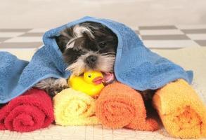 hora do banho do cão shih tzu foto