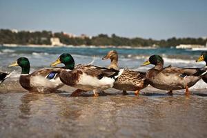 pato no mar Negro foto