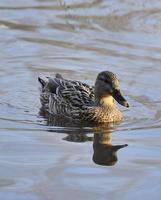 pato-real (anas platyrhynchos) nadando na água foto