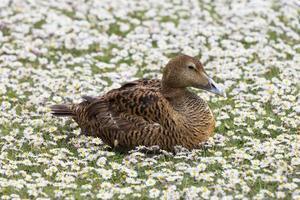 pato de êider feminino em um gramado de margarida branca flores. foto