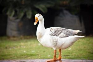 pato doméstico foto