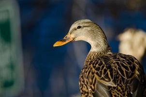 perfil de um pato fêmea foto