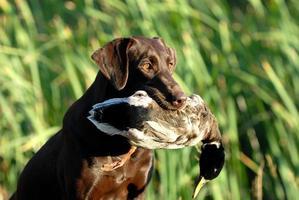 cão marrom chocolate labrador retriever foto