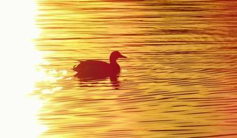 pato na lagoa ao pôr do sol foto