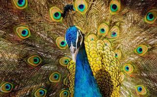 retrato de pavão bonito foto