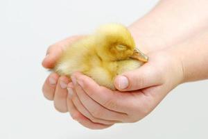 mãos segurando um patinho amarelo ... proteção animal foto