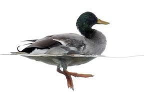 Vista lateral de um pato-real flutuando na água foto