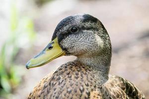 retrato de pato-real fêmea foto