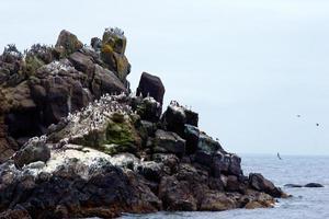 rock com colunas andorinhas-do-mar pássaros na costa do Pacífico em newport foto