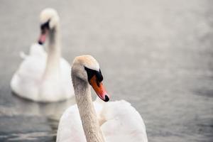 cisne nadando com patos foto