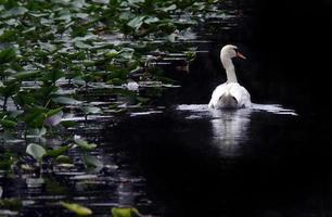 cisne muda masculino branco elegante