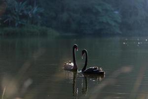 casal de cisnes negros foto