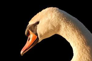 close-up do rosto de cisne foto