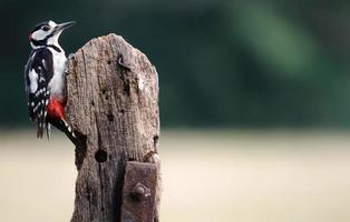 pica-pau-malhado maior foto