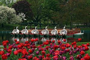 barcos de primavera e cisne nos jardins públicos de Boston foto