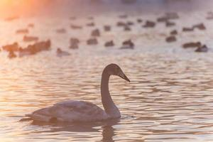 cisne lago nevoeiro inverno pôr do sol foto