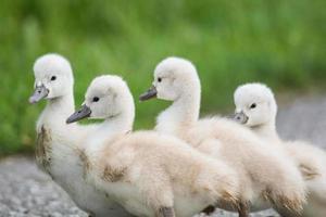 quatro cisnes-cisnes mudos andando em um caminho. foto