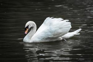 Cisne Branco foto