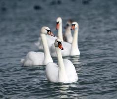 cisnes brancos
