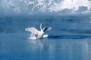 cisne trompetista (cygnus buccinator) abrindo asas no rio madison húmido foto