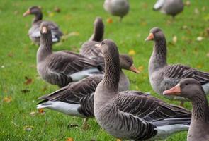 ganso de pato bravo europeu foto