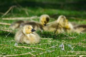 adorável pequeno gansinho descansando na grama verde foto