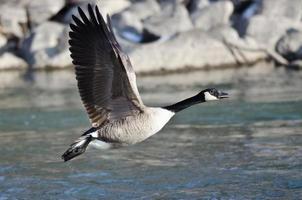 ganso do Canadá decolando de um rio
