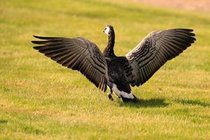 ganso celeiro, abrindo suas asas