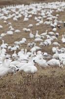 grande grupo de gansos da neve