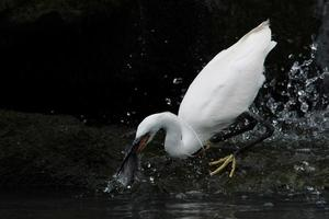 garça-branca-pequena, garça-branca-neve, egretta garzetta foto