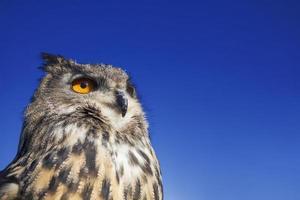 coruja de águia europeia foto