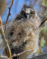 juvenil coruja-pequena no ninho foto