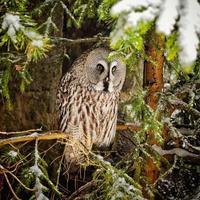grande coruja cinza na árvore no inverno foto