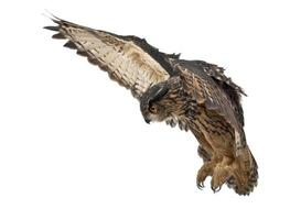 coruja-da-ásia, bubo, 15 anos foto