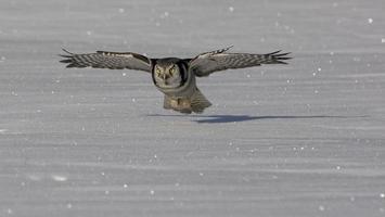 coruja de falcão, ulula do surnia foto