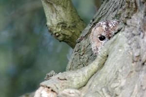 coruja tawny, struco aluco foto