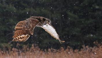 falando grande coruja com chifres em voo foto