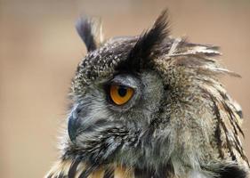 coruja de águia eurasian / bubo foto