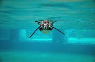 pinguim subaquático foto