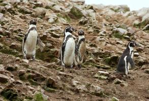 pinguim de humboldt na ilha ballestas, parque nacional de paracas, peru. foto