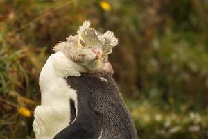 pinguim juvenil durante a muda foto