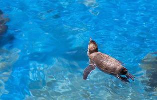 pinguim de natação foto