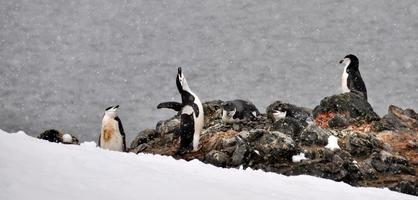 pinguins nas rochas foto