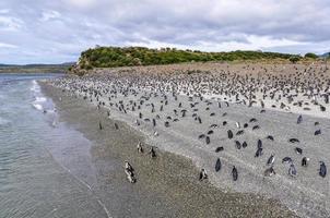 praia cheia de pinguins, canal de beagle, ushuaia, argentina foto