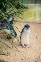pequenos pinguins na austrália foto