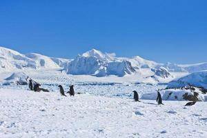 grande grupo de pinguins foto