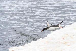 pinguins da antártica foto
